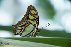 (Lauren Taliana) Tags: smoothbokeh bokeh macro closeup upclose insect butterfly nature flickr elements butterflies naturallight