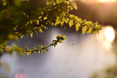 (Leela Channer) Tags: nature spring green leaves light sunset evening goldenhour closeup spider web pond