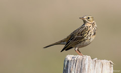 Meadow pipit (cogs2011) Tags: