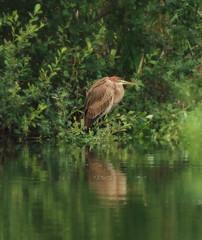 1S9A6165 (saundersfay) Tags: heron purple bird rare sighting sevenoaks