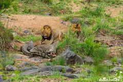 Kampf ums Essen (about-nature) Tags: afrika kruger krugernationalpark limpopo südafrika za
