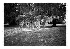 Yashica T3 - Kentmere 400 (magnus.joensson) Tags: sweden yashica t3 carl zeiss tessar 35mm adonal epson v800 scan spring light tree kentmere 400