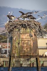 Osprey - Meal Time (lycheng99) Tags: osprey birds raptor alameda alamedaca coast sfbayarea sanfranciscobayarea nest birdsofprey bird birdphotography animal wildlife wild family meal fish