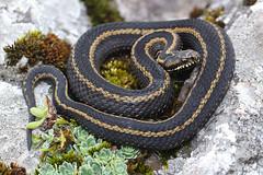 Vipera seoanei (Fernando_Iglesias) Tags: snake viper vipera vibora adder seoane seoanei venom venomous scales reptile reptiles serpiente asturias bilineata herping herps canon 100mm macro