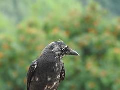 Jackdaw (Simply Sharon !) Tags: jackdaw bird gardenbird britishwildlife wildlife nature inthegarden gardenvisitor july