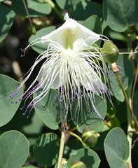 Show off Caper flower (glyn_nelson) Tags: rhodes holiday 2018 sun pefokos flower caper stamens