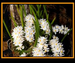 Capanemia uliginosa species orchid (nolehace) Tags: capanemia uliginosa species orchid 618 frame spring nolehace sanfrancisco fz1000 plant bloom flower