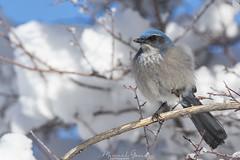 scrub jay (Aphelocoma coerulescens) (Manuel G.S.) Tags: manoleison manuel gomez sanchez usa arches winter scrub jay aphelocoma coerulescens west bird wildlife photography