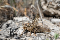 southern wart-biter (Decticus albifrons) (willjatkins) Tags: animal wildlife nature insect insects orthoptera wartbiter southernwartbiter decticus decticusalbifrons crickets cricket europeanwildlife europeaninsects europeancrickets insectsofeurope wildlifeofeurope europeanorthoptera croatia croatianwildlife croatianinsects insectsofcroatia macro macrowildlife macroinsects closeupwildlife closeup nikond610 nikon sigma105mm