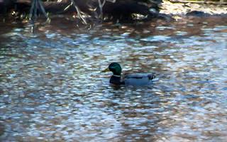 the Duck HSS