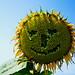 Sonnenblume, ich glaube sie lachen nicht mehr!
