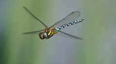 Hawk-eye (dr brewbottle) Tags: macro insect dragonfly insectinflight hawker