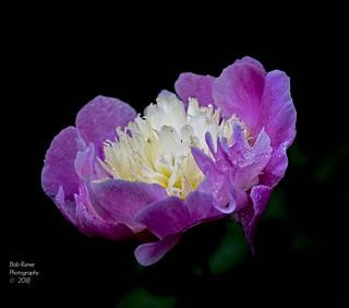 purple & White Peony