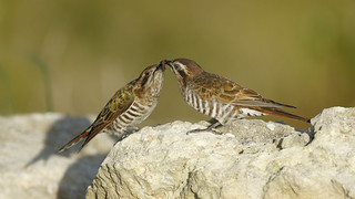 Horsefield's Bronze Cuckoos