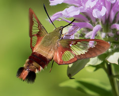 Clearwing Moth (vischerferry) Tags: moth beemimic lepidoptera wildbergamot wildflower macro clearwingmoth hummingbirdclearwing sphinxmoth hummingbirdmimic newyorkstate specanimal