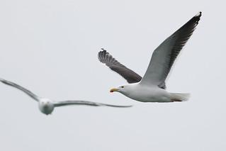 Great Black-backed Gull, Howth, Ireland, May 2018