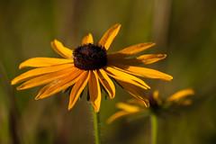 Black-eyed Susan (nikons4me) Tags: blackeyedsusan wildflower wildflowers iowa ia tamronaf70300mmf4056ldmacro nikond70 tamacounty