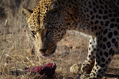 DSC_4270 (Andrew Nakamura) Tags: namibia africa windhoek wildlife animal mammal felidae bigcat leopard africanleopard felid naankuse wildlifesanctuary