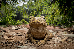 River toad (Phrynoidis asper) (peter soltys) Tags: peter soltys adventure macro photography wildlife canon herping west java bogor malaysia river toad phrynoidis asper amphibian