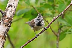 Хохлатая синица,или гренадерка. (tam6524) Tags: paridae lophophanescristatus crestedtit хохлатаясиница гренадерка bird nature animal forest