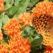 Butterfly (probably great spangled fritillary) on butterflyweed 3