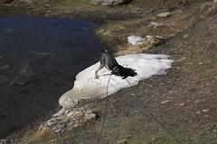 comme à son habitude... une roulade sur un névé (bulbocode909) Tags: valais suisse moiry grimentz valdanniviers gouilles eau névés neige chiens montagnes nature