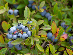 Maine Blueberries (DY Pics) Tags: blueberries blueberry fruit nikon d600 maine usa newengland