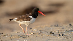 American Oystercatcher - Haematopus palliatus | 2018 - 21 (RGL_Photography) Tags: amoy americanoystercatcher belmar birding birds birdwatching gardenstate haematopodidae haematopus jerseyshore monmouthcounty mothernature nature newjersey nikonafs600mmf4gedvr nikond810 ornithology oystercatcher seapie shorebird us unitedstates waders wildlife wildlifephotography ©2018rglphotography