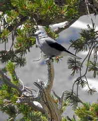 Clark's Nutcracker (Nucifraga columbiana) (Calochortus) Tags: jayfamily clarksnutcracker nucifragacolumbiana birds carsonpass winnemuccatrail winnemuccalake eldoradonationalforest sierras californiabirds nikonp900