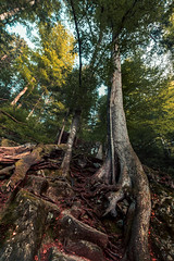 Root Of Life (der-ernst) Tags: nature blackforest black forest outdoor outside travel landscape natur wood waterfall nikon sigma green plants trees tree root roots ultrawideangle wideangle ultraweitwinkel
