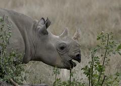 YWP7293 (davefieldson) Tags: ywp yorkshirewildlifepark outside outdoor openair animals wildlife doncaster rhino