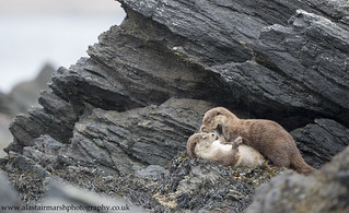Playful Otters