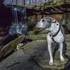 Juneau at Blue Hen Falls (kevincarlvail) Tags: cuyahogavalleynationalpark cvnp ohio waterfall bluehen pitbull dog natural nature nationalpark