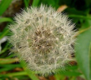 PERPIGNAN DANDELION WEED