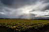 Storm Clouds over Daffodil Fields (Craig Hannah) Tags: daffodil fields agriculture farming stormclouds weather aberdeenshire aberdeen field craighannah april 2018 scotland landscape light flower spring uk