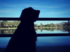 Lake View (Bennilover) Tags: dog dogs labradoodle lakes ranchosantamargaritalake silhouette april editing benni