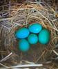 Bluebird Nest (Heather Killoran Rees) Tags: springbirds bird nest blue bluebird spring painterly