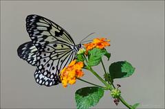 Idea leuconoe (Isabel Kardoso) Tags: inseto grande preto branco