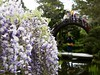 Field Trip! (Cathy de Moll) Tags: garden wisteria vines purple bridge students posing picture kids pond water sanfrancisco colorful