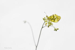 Aurore - Anthocharis cardamines