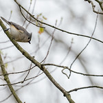 Tufted Titmouse sitting in my tree on a dreary day thumbnail