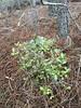 Março 2018. Últimas plantações (aulasdeviolino) Tags: pinetreeforest nativetreeplanting plantaçãoárvoresnativas pinhal pinheirobravo pinetree holmoak carrasco azinheira quercusrotundifolia