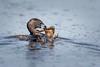 Pied-billed Grebe with Frog-48539.jpg (Mully410 * Images) Tags: avian prey coonrapidsdam nationalpark birds frog birder birdwatching piedbilledgrebe bird amphibian fowl grebe birding eating mississippinationalriverrecreationarea waterfowl
