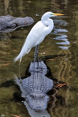 Suicide Mission (explore 4/17/18) (Darts5) Tags: alligator alligators greategret whitebird bird birds birdonalligator gator gators 7d2 7dmarkll 7dmarkii 7d2canon ef100400mmlll canon7d2 canon7dmarkll canon7dmarkii canon canonef100400mmlii animal