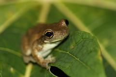 Trachycephalus typhonius (Linnaeus, 1758) (alrcardoso) Tags: trachycephalustyphonius trachycephalus anura amphibia hylidae anfíbio frog animals animal animais fauna