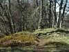 P4150030 (jameskendall2) Tags: glen feshie cairngormnationalpark cairngorms spring riverfeshie trees forest beech birch wild cattle