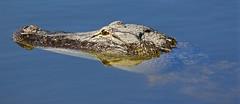 IMG_2578_positioned and still. (lada/photo) Tags: alligator animal hunter inawater submerged ladaphoto florida gators