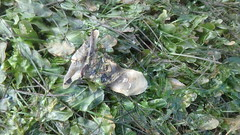 Hammer oyster (Malleus sp.) (wildsingapore) Tags: changi carpark7 mollusca bivalvia malleus island singapore marine intertidal shore seashore marinelife nature wildlife underwater wildsingapore malleidae coastal