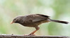 yellow-billed babbler (praveen.ap) Tags: yellowbilled babbler yellow billed yellowbilledbabbler whiteheaded white headed whiteheadedbabbler tindivanam