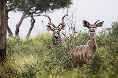 Kudu in Swaziland (memories-in-motion) Tags: kudu game park drive swaziland wilderness nature africa canon 7d ef70300mm animal tree